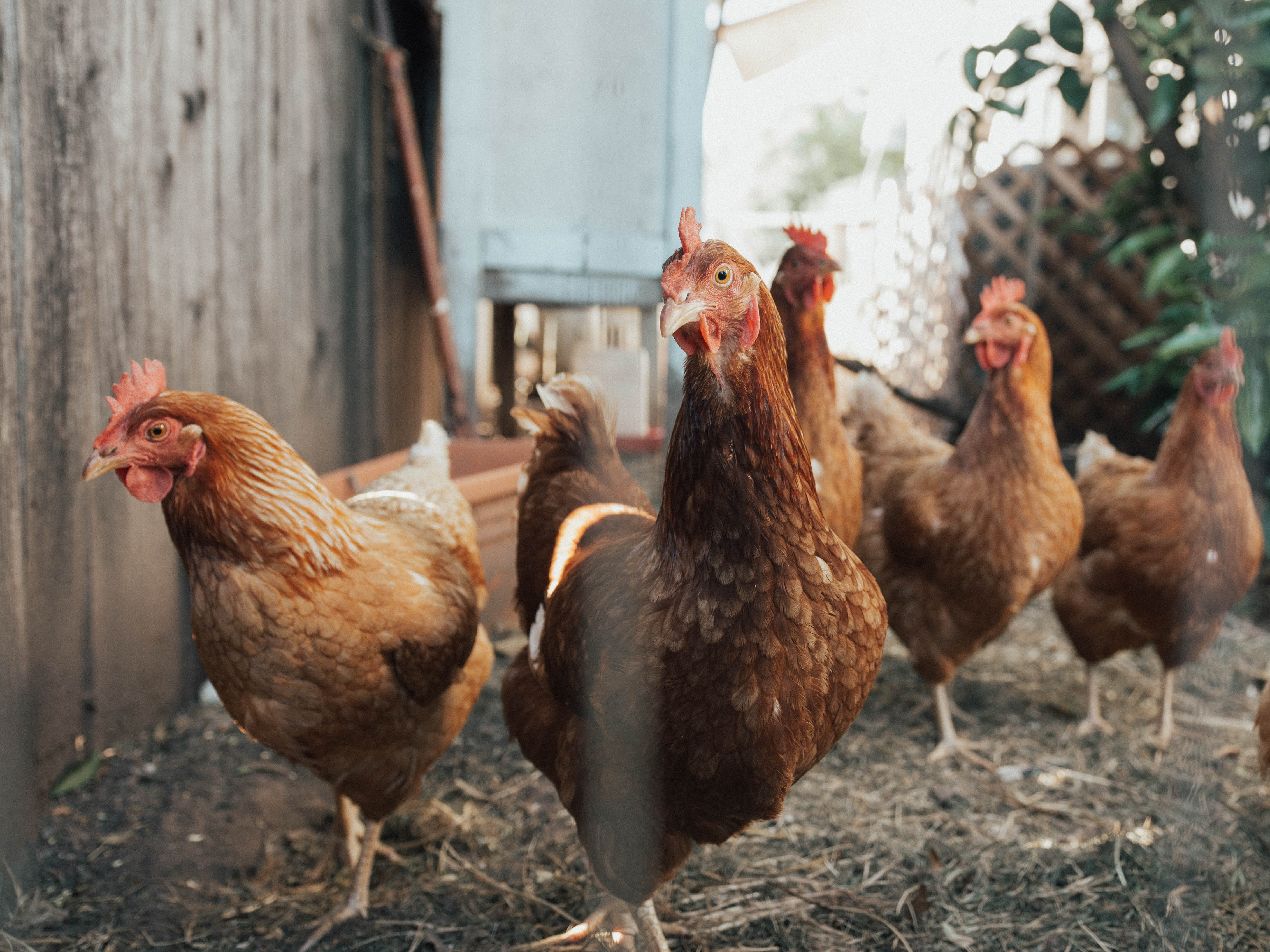 Domestic poultry's 'food security catch 22'